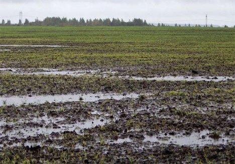 На полях Приморья установилось аномальное переувлажнение