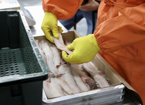 Более полумиллиона тонн рыбы добыли предприятия Приморья