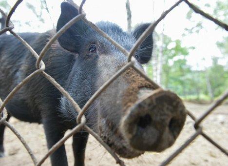 В Дальнереченском районе Приморья сняли карантин по африканской чуме свиней