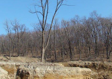 Не оскудеет лес деревьями?